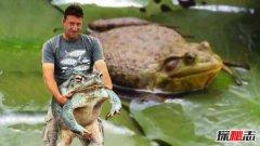 世界上最大的青蛙:非洲巨蛙重3千克长30厘米(婴儿大小)