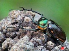 世界最值钱甲虫:阳彩臂金龟一只几十万(曾经灭绝)