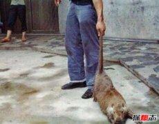 黑龙江30斤大老鼠真相?是真的吗?