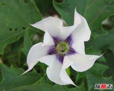 世界上最毒最妩媚的花 整株有毒让人沉迷其中