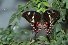 玉带凤蝶:东欧和亚洲最常见的蝴蝶(翅上长有带状白斑)