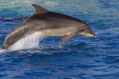 印太洋瓶鼻海豚:寿命超过40年的宽吻海豚(最长2.6米)