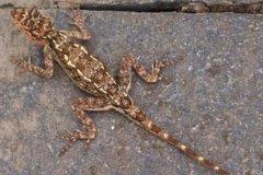 印南鬣蜥:一种能伪装成大理石的鬣蜥(成功躲过追捕)