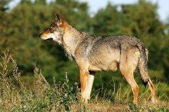 印度狼:体型最小的灰狼亚种之一(体重仅27公斤)