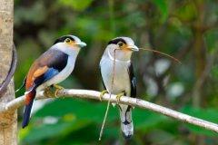 银胸丝冠鸟:拥有天蓝色的扁平鸟喙(栖息于热带雨林)