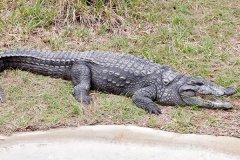 沼泽鳄:最喜欢生活在不足5米深的水域(最长可达6.1米)