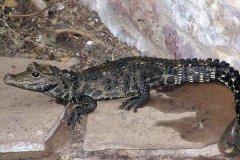 侏儒鳄:目前世界上最小的鳄鱼(体长普遍仅1米)