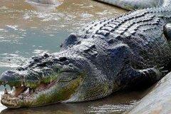 海水鳄:鳄鱼中体型最大的物种(体长最多可达7米)