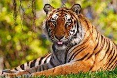 华南虎和东北虎谁珍贵?同属珍稀动物(华南虎已野外灭绝)