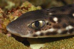 猫鲨:因长有猫瞳般眼睛而得名(缺水也能存活12小时)