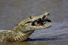 凯门鳄:鳄鱼中最弱最小的物种(体长最多不超过1.8米)