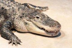 美洲短吻鳄:西半球最大的鳄鱼(重300公斤/4.5米长)