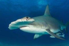 双髻鲨:脑袋呈现锤头状/眼睛距离1米宽(拥有360度视野)