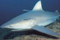牛鲨:唯一穿梭于淡水和咸水中的鲨鱼(血液能调节盐分)