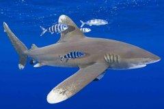 远洋白鳍鲨:拥有比普通鲨鱼长三倍的鱼鳍(就像鸟类翅膀)