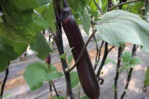 茄子切开籽发黑能吃吗,老茄子才有籽(吃了防治高血压)
