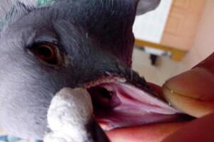 土办法清理鸽子呼吸道,捏住鸽子嘴往里面灌药(2-3天即可恢复)