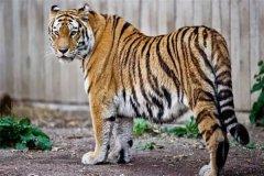 孟加拉虎:又称印度虎,是一种亚种的老虎(成年会变化)