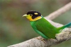 米沙岛阔嘴鸟:生活栖息范围很是广泛(世界多处可看到)