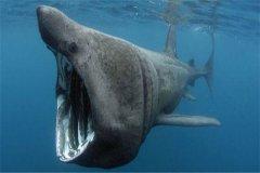姥鲨:一种快要灭绝的海洋生物(头大眼睛小的生物)