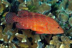六斑九刺鮨:虽然美观但不适合饲养(眼睛小嘴巴大)