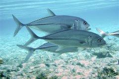 六带鲹:过着小群游生活的一种鱼类(暖水性鱼类)