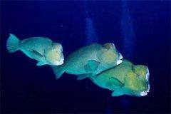 隆头鹦哥鱼:白天比较活跃晚上集中在一个地方休息