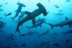 路氏双髻鲨:性情残暴会攻击人类的鲨鱼(长相奇特)