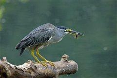 绿鹭:一种迁徙动物(白天在洞穴休息晚上活动频繁)