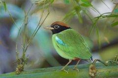 绿胸八色鸫:喜欢在海拔一千多米的热带雨林生活着