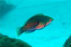 绿鹦鲷:喜欢在珊瑚礁附近生活(白天活动晚上睡觉)