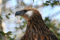 马达加斯加海雕:属于一种猛禽(大多生活在马达加斯加)
