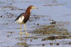 马岛池鹭:又称群岛池鹭(大多生活在非洲的东部)