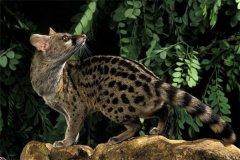 马岛灵猫:又称马岛缟狸(属于令猫类的动物)