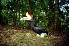 马来犀鸟:喜欢生活在原始森林当中(长相很特别的鸟)