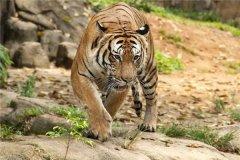 马来亚虎:身材高大的一种动物(毛发很是绚丽)