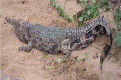 马来长吻鳄:可以在各式各样的环境中生存(擅长游泳)