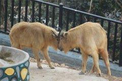 蛮羊:一种分布在埃及大西洋地区的生物(喜欢干旱地区生活)