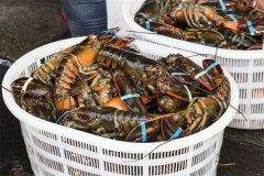 美洲螯龙虾:又称波士顿龙虾(相当昂贵的一种龙虾)