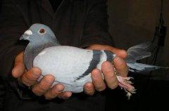 世界上最贵的赛鸽:新金,欧洲鸽王价值1250万(最佳幼鸟)