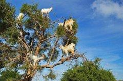 羊上树什么意思?故意刁难之人,源自段子(摩洛哥羊上树)