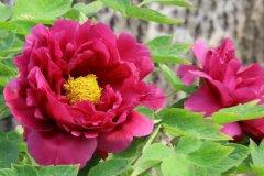 牡丹为什么是国花:票数占79.71%,有文化特色(花中之王)