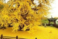 世界上最美的银杏树:千年银杏树,1400年历史(唐太宗所种)