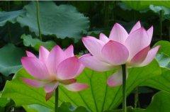世界上最吉利好运的花:桃花象征好运,百合花用在婚礼上