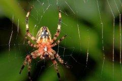 打死蜘蛛的后果:破坏好运,捕捉害虫的益虫(蛛丝硬度高)