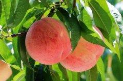 桃子味苦有毒吗?无毒,吃了苦桃子需注意(恐有农药残留)
