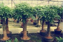 客厅最旺宅的大型植物:发财树极其旺财,龙骨别名霸王鞭