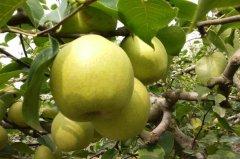 绿皮梨子叫什么?砀山梨,含糖量约13%(传统三大名梨之首)