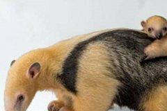食蚁兽是保护动物吗:不仅是保护动物!而且到快要消失