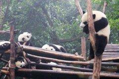熊猫为什么只有中国才有 天时地利人和保护下的幸存儿